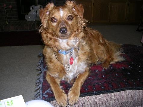 Reggie - Free.sheltie/dachshund. Will be traveling. 8, sweet, not good with children.
