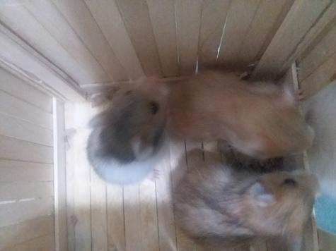 3baby hamsters (boys)