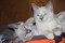 Ragamese kittens Ragdoll / Siamese Cross