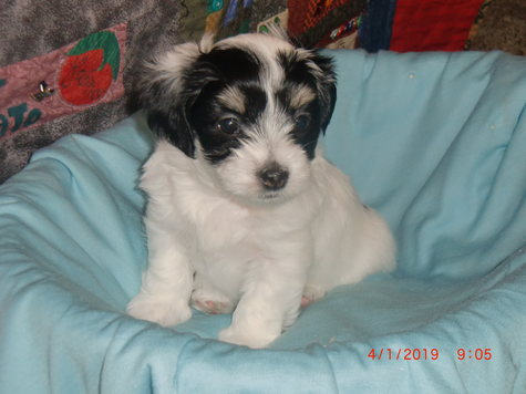 White male Havanese with black spots