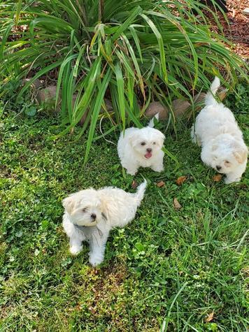 """Teddy Bear Puppies"""
