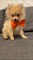 Super Cute Pomeranian puppies Ready
