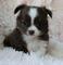 Cute Chihuahua puppies Ready