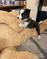 Healthy Border Collie puppies
