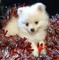 Healthy Pomeranian puppies Ready now