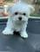 Sweet Maltese puppies for adoption