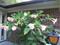 Angel Trumpet Plants (Brugmansia)
