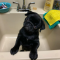 Pug puppy for sale near me