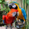 Scarlet Macaws parrots call or text: +17072475602