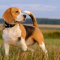 Beagle Puppies for Sale - Central Park Puppies