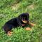 Purebred German Rottweiler puppies
