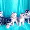Siberian Husky Puppies..