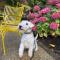 Adorable Lakeland Terrier pups for adoption