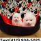 Tiny Teacup pomeranian puppies for sale...