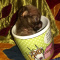 Chihuahua Tiny Apple Head Male