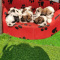 Shih Tzu Puppies Available and Ready to Go