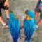 African grey and macaw  parrots available for sale