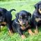 Doberman Pinscher puppies for adoption,