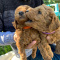AKC registered Goldendoodle Pups